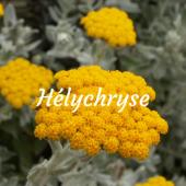 Hélichryse